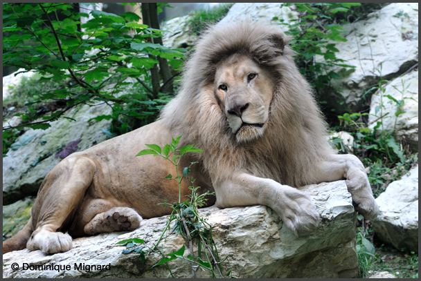 Lion09Beauval