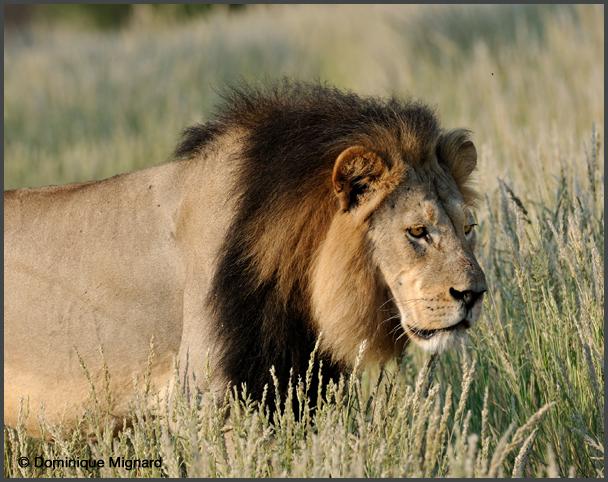 Lion10Kala
