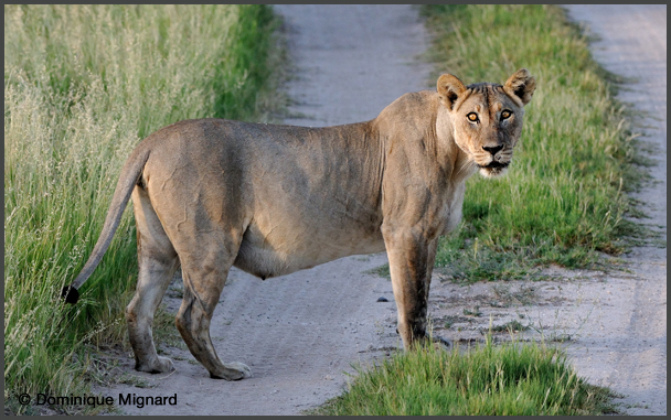 Lion11Kala