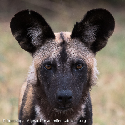 Lycaon, chien sauvage africain