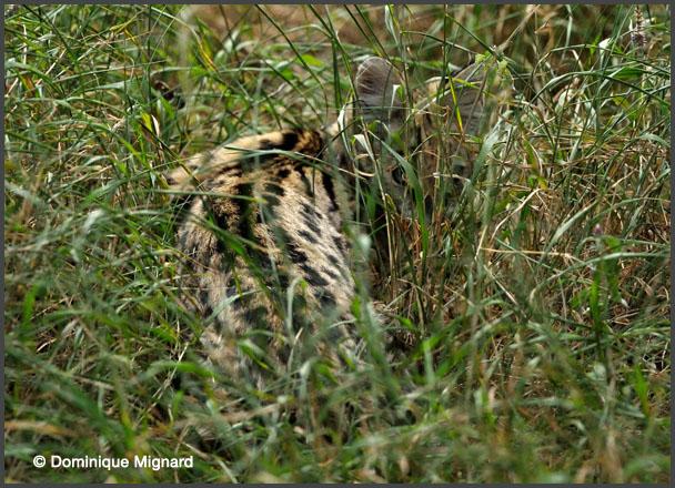 ServalBaleEthiop