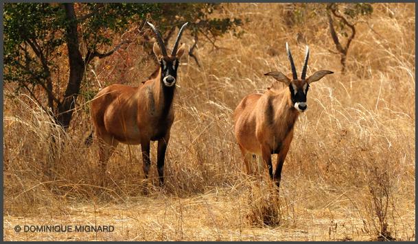 Antilope a robe blanche
