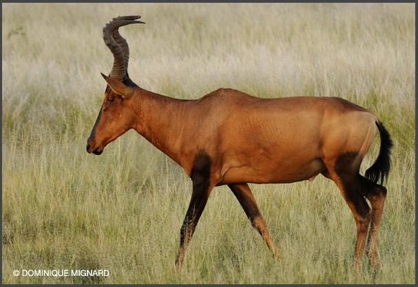 Bubale roux kgalagadi transfrontier park Botswana