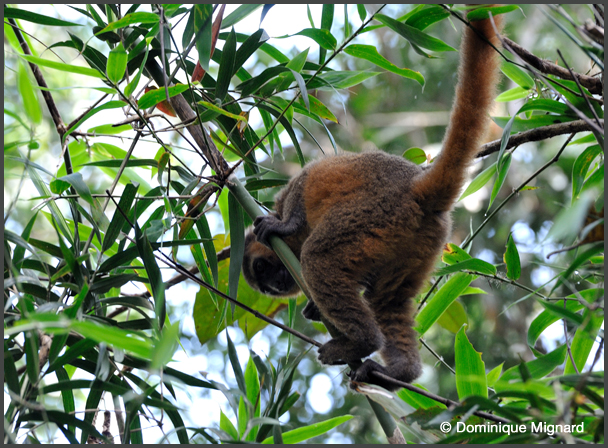 Hapalemur dorŽ - Parc national de Ranomafana - Madagascar