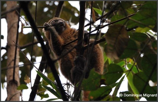Hapalemur dorŽe - Parc national de Ranomafana - Madagascar