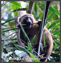 Hapalemur doreŽ - Parc national de Ranomafana - Madagascar