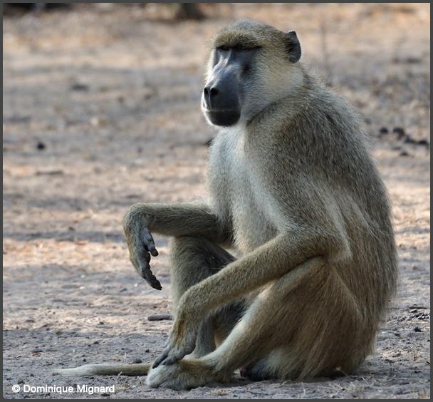 Babouin cynocéphale - Papio cynocephalus - Yellow baboon ...