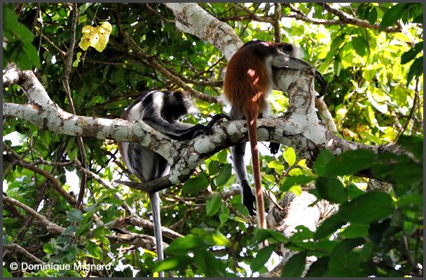 Colobes bais de Zanzibar