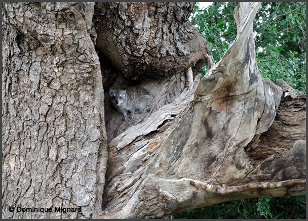 Daman des arbres