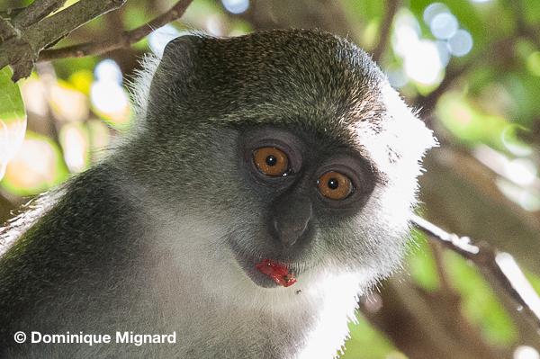 Zanzibar Sykes's monkey