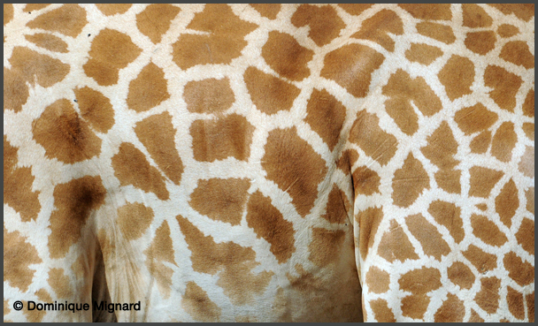 girafe d 39 afrique de l 39 ouest mammif res africains. Black Bedroom Furniture Sets. Home Design Ideas