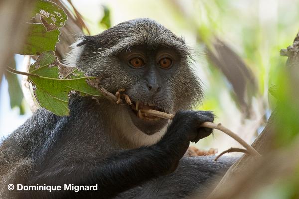 sykes_monkey