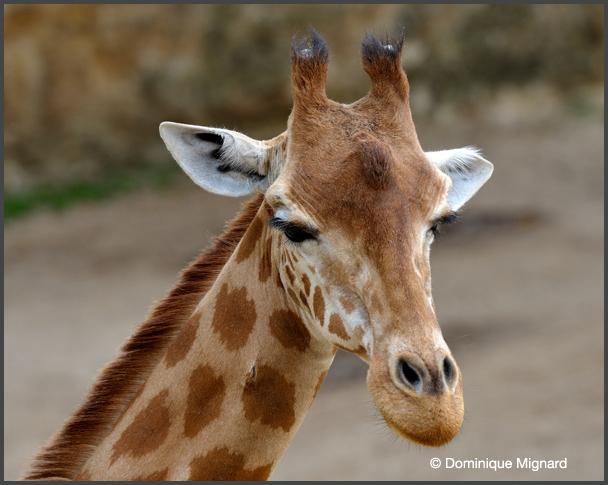 Girafe-Bioparc