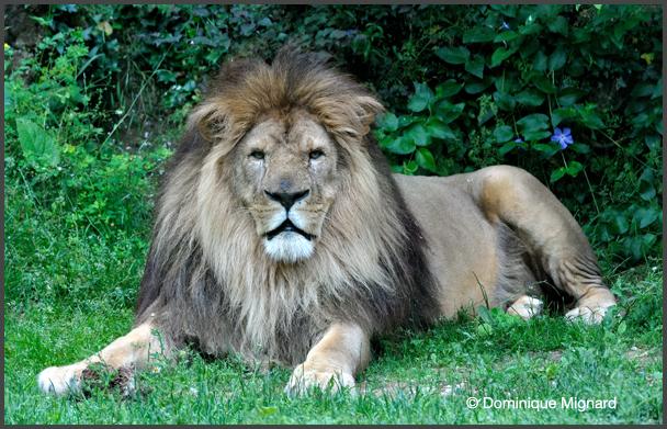 Lion-Bioparc