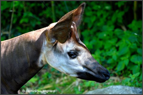 Okapi_Doue