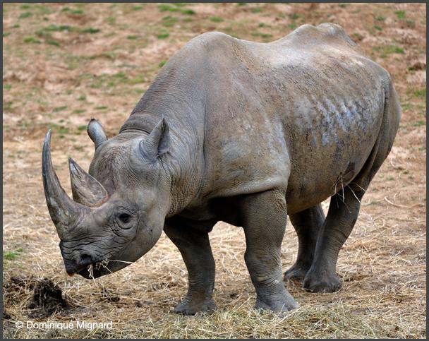 Rhino-Noir-Bioparc