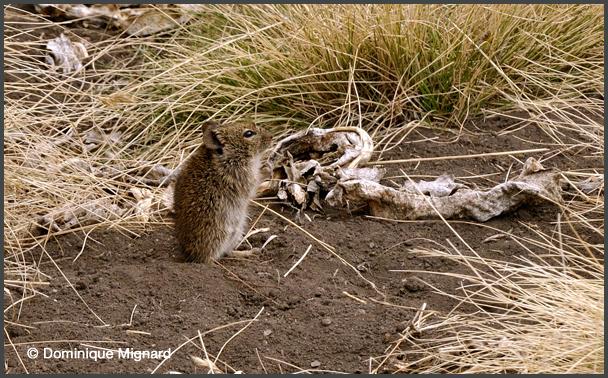 Rat roussard d'Abyssinie Arvicanthis abyssinicus