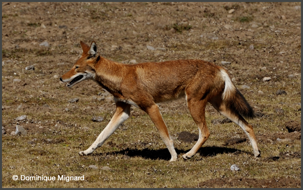Loup d'Abyssinie