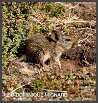 Arvicanthis abyssinicus Rat roussard d'Ethiopie