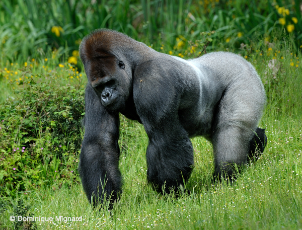 Gorille_VS