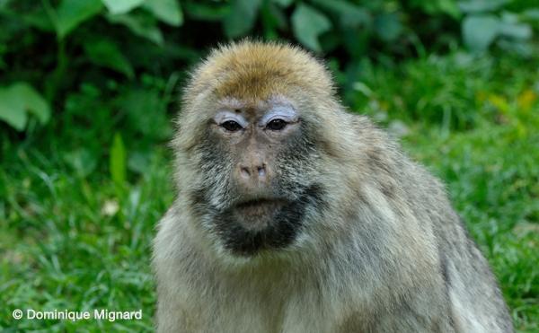 VallŽe des Singes - Romagne Macaque de Barbarie Macaca sylvanus