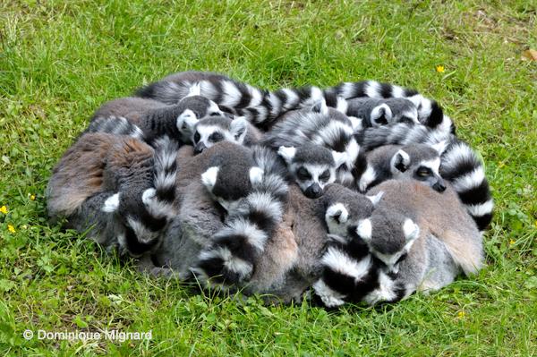 VallŽe des Singes - Romagne Lemur catta