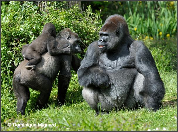 gorille des plaines de l 39 ouest gorilla gorilla gorilla mammif res africains. Black Bedroom Furniture Sets. Home Design Ideas