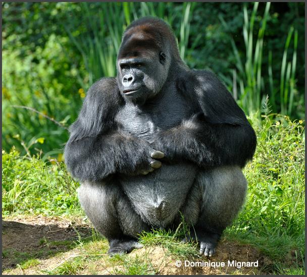Gorilles des plainesde l'Ouest ˆ la VallŽe des Singes - Romagne