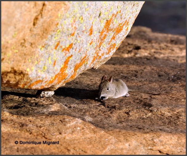 MacroscŽlide oriental elephantulus myurus eastern rock elephant shrew