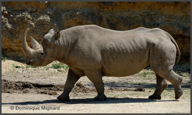 RhinoNoir01