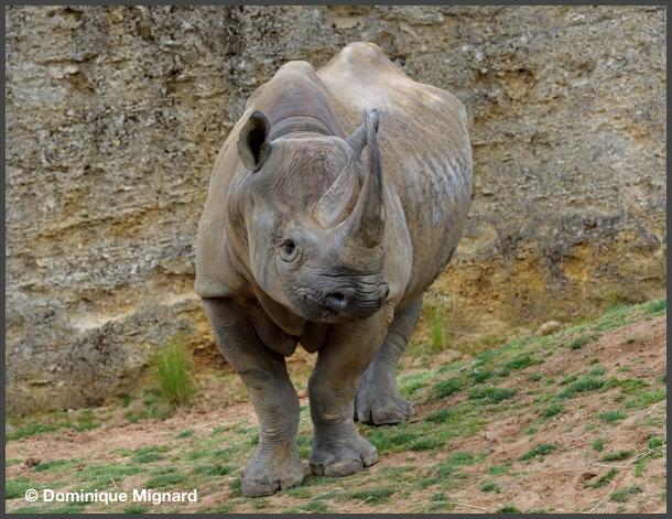RhinoNoir02
