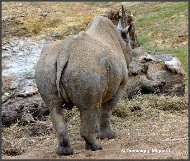 RhinoNoir03