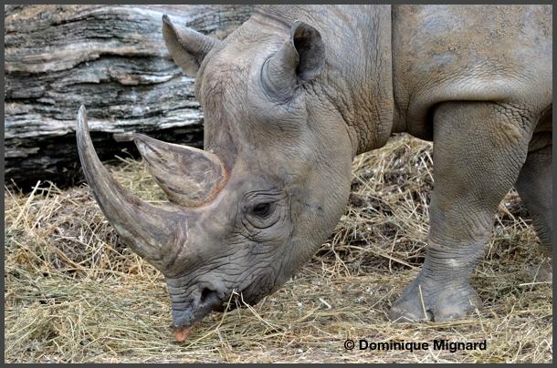 RhinoNoir04