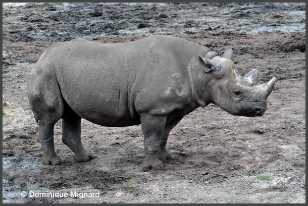RhinoNoir07