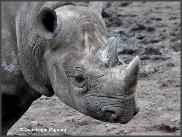 RhinoNoir08