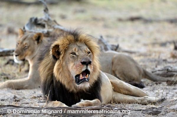 Cecil_Lion_Hwange_01
