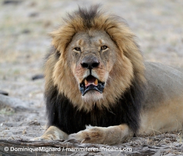 Cecil_Lion_Hwange_02