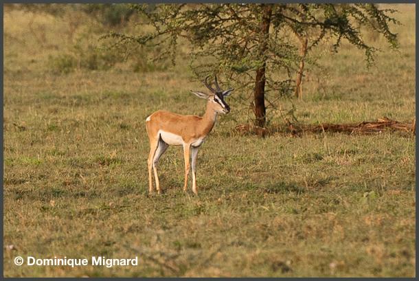 Gazelle-Awash