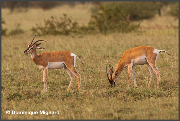 Gazelle-Ethiopie