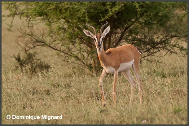 Gazelle-Soemmering