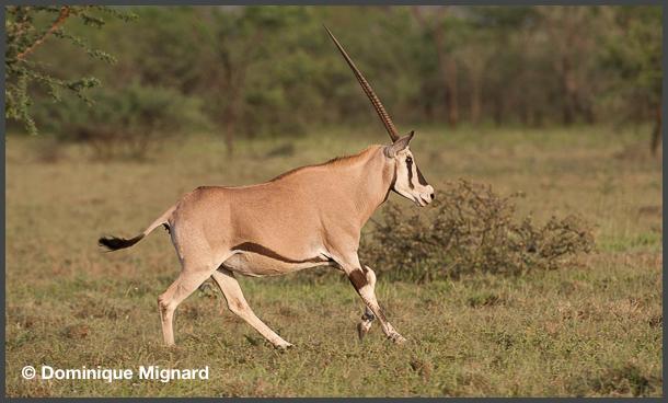 Oryx-Awash