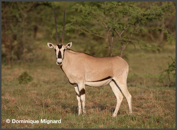 Oryx-Beisa-02