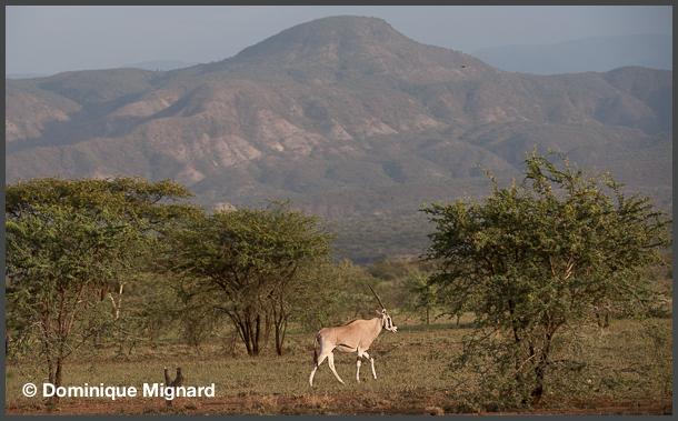 Oryx-Beisa-beisa