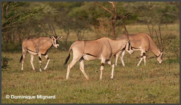 Oryx-Ethiopie