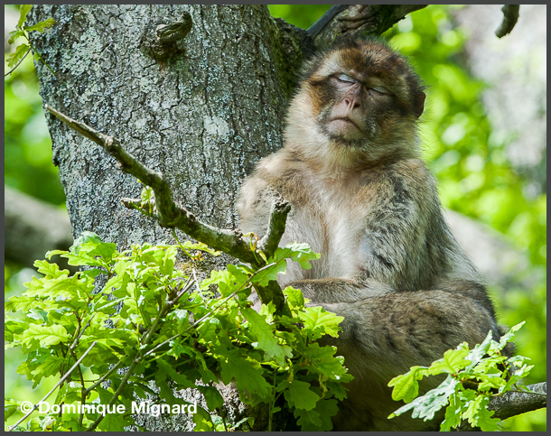 Barbary_Macaque