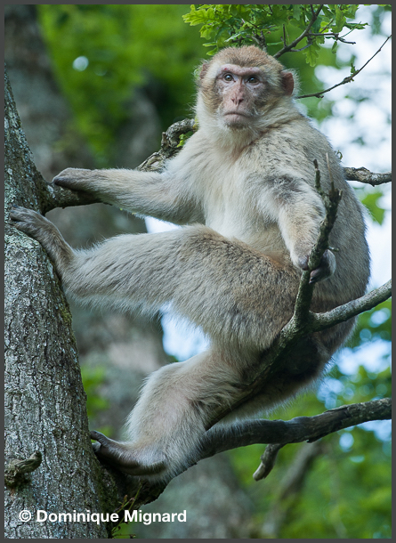 Barbary_Macaque_02