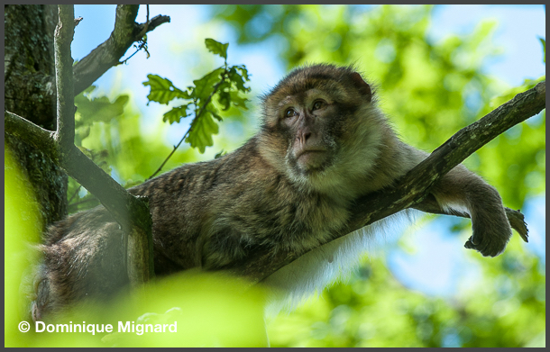 Macaque_Barbarie