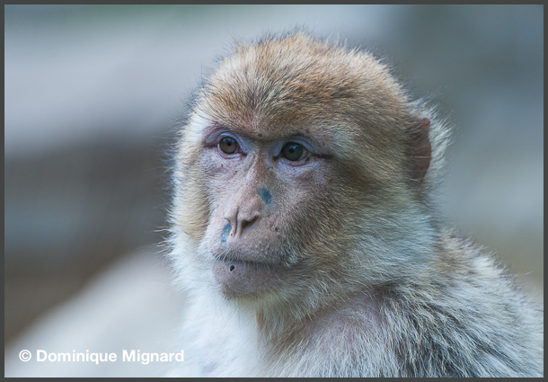 Macaque_Barbarie_02