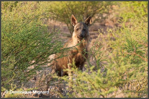 Hyene_Kalahari