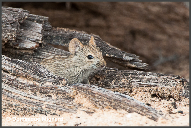 Four_Striped_Grass_Mouse